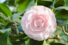 Camellia (in the center) Stock Image