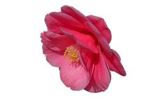 Camellia-clipping path stock images