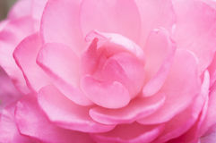 Camellia close. Eastphoto, tukuchina, Camellia close, Plant, capture shot Stock Photos