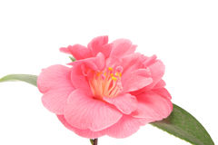 Camellia close up. Camellia flower close up isolated against white Stock Photography