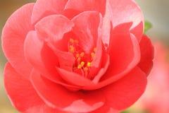Camellia close up. Close up of a camellia Stock Photos