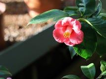 Camellia close view Stock Images