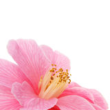 Camellia closeup Royalty Free Stock Photo