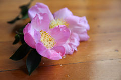 Camellia Royalty Free Stock Images