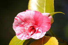 Camellia flower Stock Images