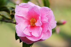 Camellia Flower Immagine Stock