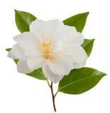 Camellia Flower Fotografía de archivo libre de regalías