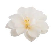 Camellia Flower Fotografie Stock