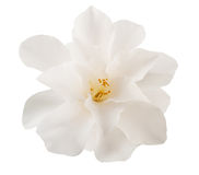 Camellia Flower Immagine Stock