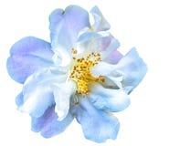 Camellia Flower Imagens de Stock