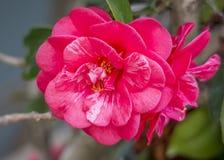 Camellia Flower Imagen de archivo