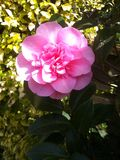 Camellia Flower Lizenzfreies Stockfoto