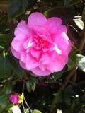 Camellia Flower Arkivfoto