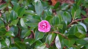 Camellia flower against green foliage background