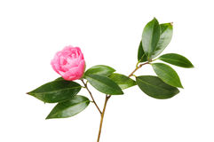 Camellia Flower And Foliage Royalty Free Stock Photo