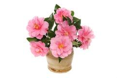 Camellia flower arrangement Royalty Free Stock Photography