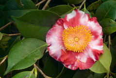 Camellia Flower Stock Photography