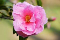 Camellia flower Stock Image