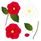 Camellia Flower bianca e rossa Isolato su priorità bassa bianca Illustrazione di vettore Fotografia Stock