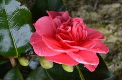 Camellia Flower Blossom rossa in un giardino Fotografia Stock