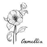 Camellia Flower Botany Illustration. Vector botany illustration - camellia flower in black and white vector illustration