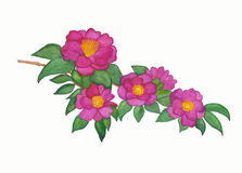 Camellia flower branch watercolor painting. Hand drawn camelia flower branch watercolor painting with white background Stock Photography
