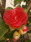 Camellia Royalty Free Stock Image