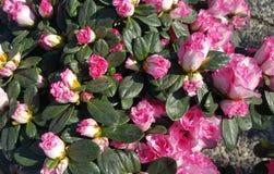 Camellia Flower Bush rosa fotografia stock