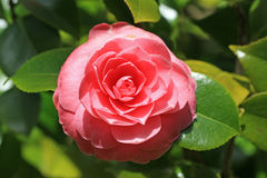 Camellia flower Royalty Free Stock Image