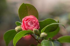 Camellia flower closeup Royalty Free Stock Image