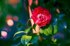 Camellia flower on dark green leaves. In dramatic lighting royalty free stock image