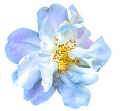 Camellia Flower. Isolated on white background Stock Images