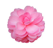 Camellia flower isolated on white background Royalty Free Stock Photos