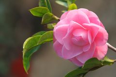 Camellia flower - Japanese rose. Camellia flower in a soft afternoon lighting Stock Image