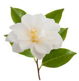 Camellia flower. With leaf isolated on white Royalty Free Stock Photography
