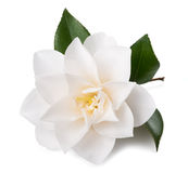 Camellia. Flower with leaf  on white Stock Photo