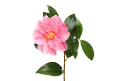 Camellia flower and leaves Stock Photography