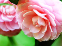 Camellia Stock Images