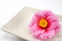 Camellia flower in the plate Royalty Free Stock Photos