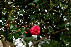 Camellia flower Stock Photos