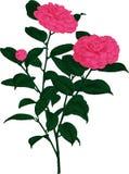 Pink Camellia flower. Vector Stock Photos