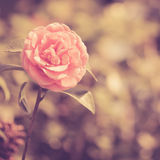 Camellia flower vintage Royalty Free Stock Images