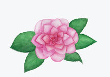 Camellia flower watercolor  painting. Hand drawn watercolor painting of camellia flower with white background Royalty Free Stock Photo