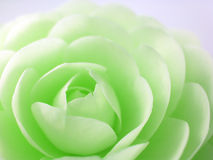 Color change camellia Stock Photos