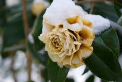 Camellia Stock Photography