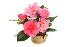 Camellia flowers Stock Photo