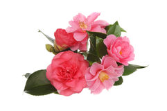Camellia flowers Stock Images