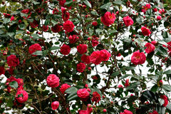 Camellia flowers Stock Photo