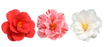 Camellia flowers isolated Stock Images
