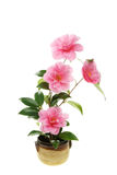 Camellia flowers in a pot Royalty Free Stock Photos